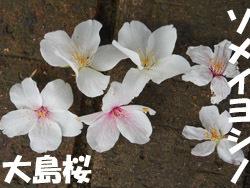 160426_sakura04.jpg