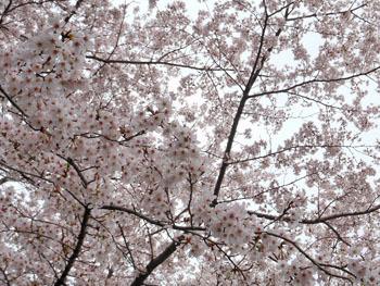 160427_sakura2.jpg