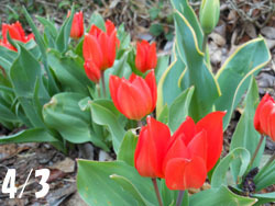 160429_tulip1.jpg