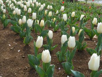 160429_tulip2.jpg