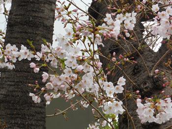 160503_sakura.jpg