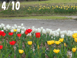 160508_tulip1.jpg