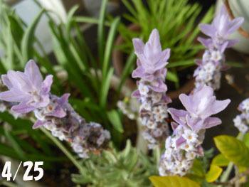 160719_f_lavender1.jpg