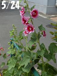 160727_tatiaoi1.jpg
