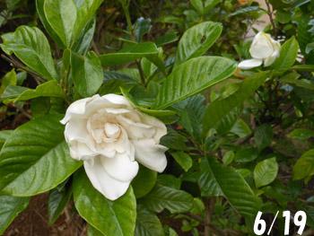 160730_gardenia.jpg