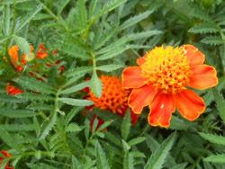 160906_marigold2.jpg