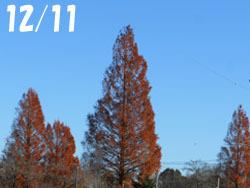 170118_metasequoia1.jpg