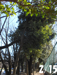 170221_kasinoki1.jpg