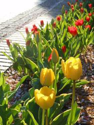 170509_tulip2.jpg
