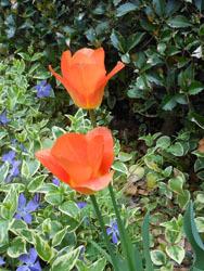 170519_tulip4.jpg