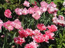 170525_tulip.jpg