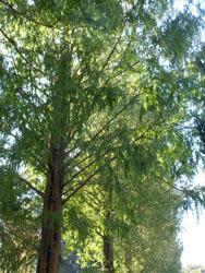 171117_metasequoia1.jpg