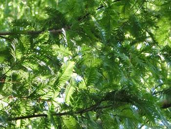 171117_metasequoia4.jpg