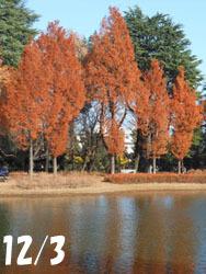 171228_metasequoia1.jpg