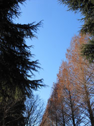 180228_metasequoia1.jpg