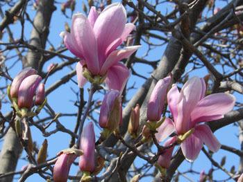 180503_magnolia.jpg
