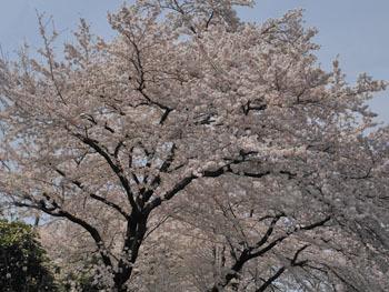 180509_sakura2.jpg