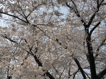 180509_sakura4.jpg