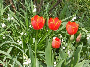 180509_tulip.jpg