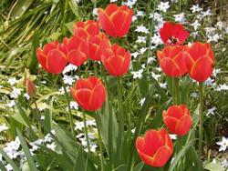 180521_tulip3.jpg
