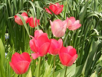 180521_tulip4.jpg