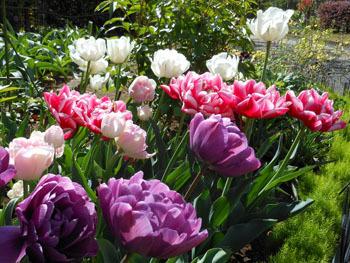 180525_tulip02.jpg