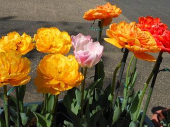180525_tulip05.jpg