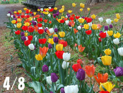 180530_tulip1.jpg