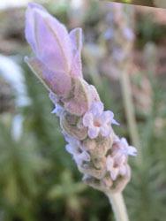 180614_f_lavender1.jpg