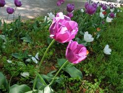180624_tulip1.jpg