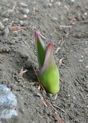 190305_tulip.jpg