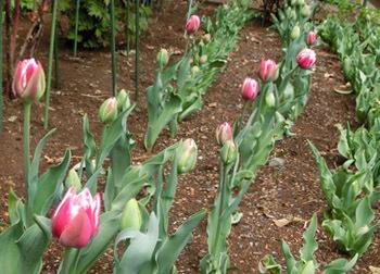 190510_tulip1.jpg