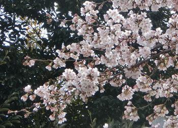 190512_sakura02.jpg
