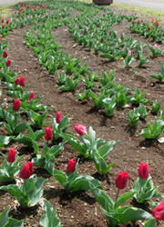 190512_tulip1.jpg