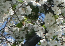 190602_sakura08.jpg