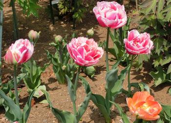 190603_tulip2.jpg