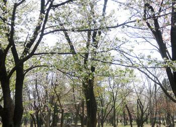 190604_sakura5.jpg