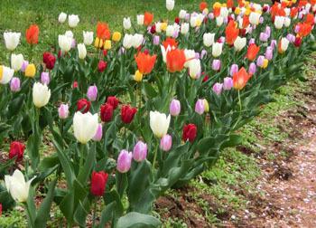 190618_tulip1.jpg