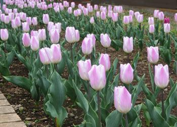 190618_tulip2.jpg