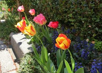 190621_tulip1.jpg