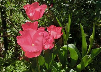 190621_tulip2.jpg