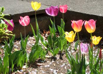 190621_tulip3.jpg