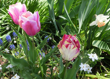 190621_tulip4.jpg