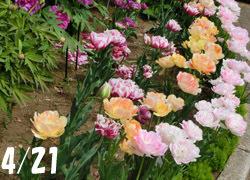 190627_botan_tulip1.jpg