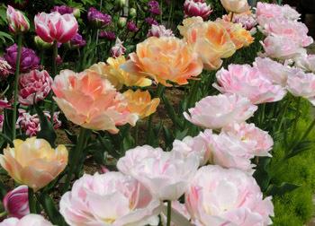190627_tulip1.jpg