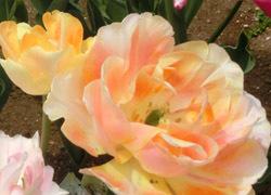 190627_tulip2.jpg