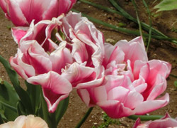 190627_tulip3.jpg