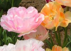 190627_tulip4.jpg