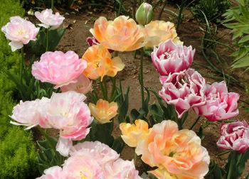 190627_tulip5.jpg