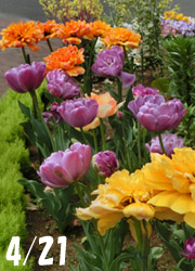 190628_tulip6.jpg